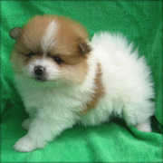 BOY AND GIRL POMERANIAN NOW READY FOR GOOD HOMES