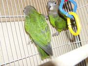 Poicephalus Parrots Now Ready To Go