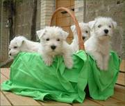 Highly socialized west highland white terriers for sale