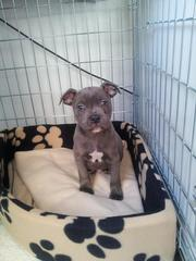 (blue) staffordshire bull terrier puppies for sale