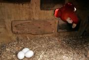 Scarlet Macaw And Three Fertile Eggs For sale