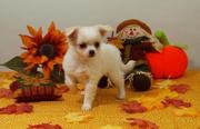 Adorable teacup chihuahua puppies for sale